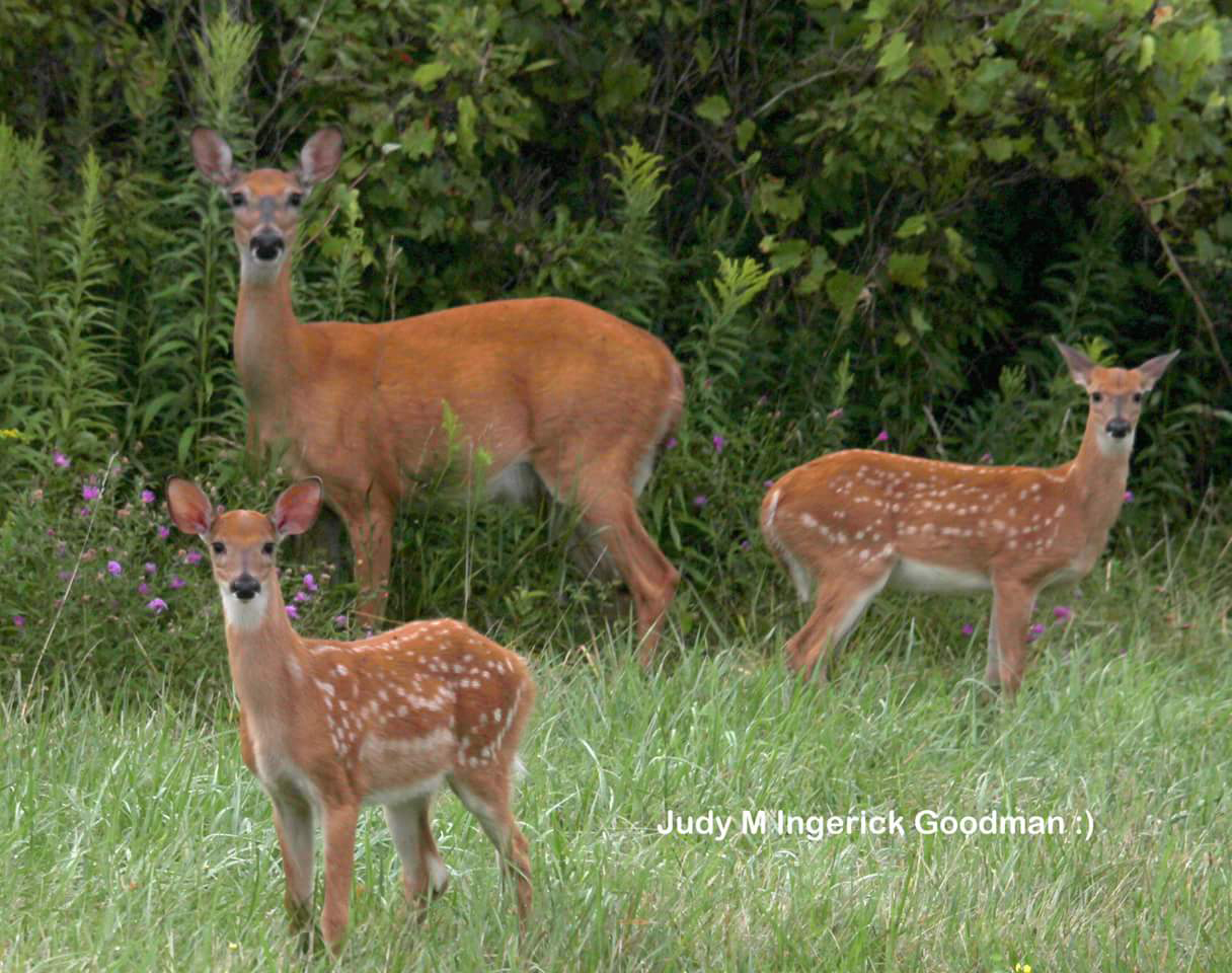 Mama and Her Twins in Ontario County (photo)